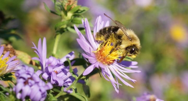 Aster-Bee-720x390.jpg