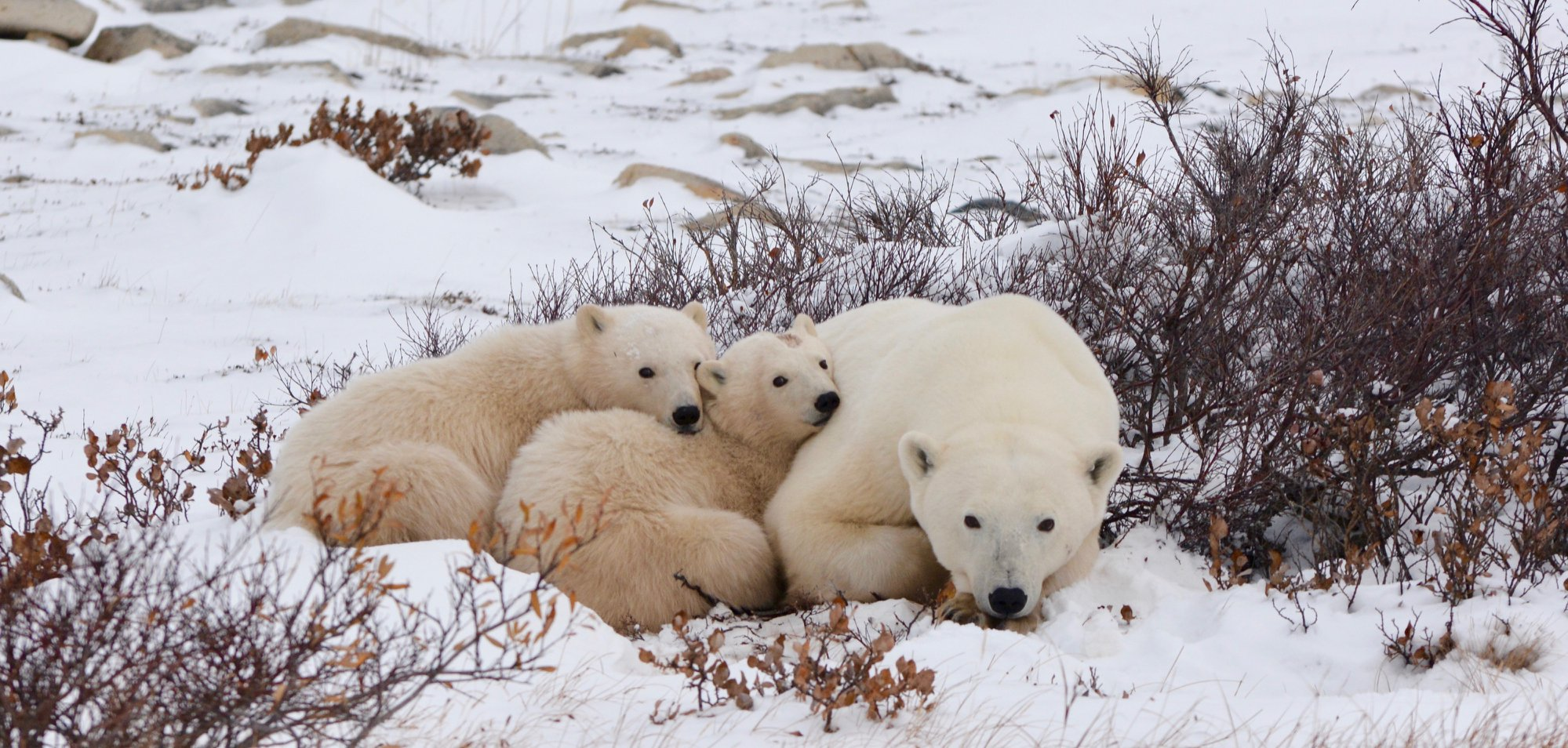 Tours - Nanuqtours offers a variety of different tours for those wanting to get up close with some on the Arctic's most spectacular wildlife!