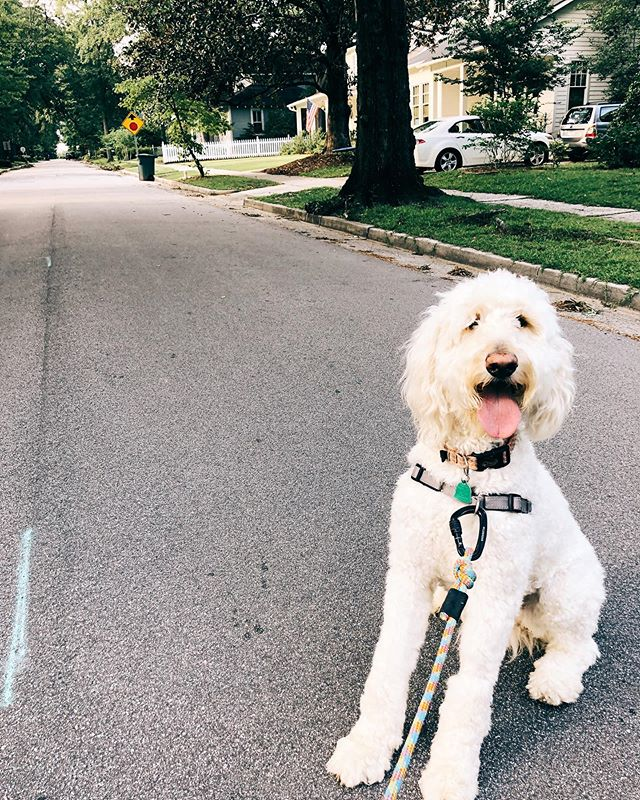 Chasing away Sunday scaries with evening strolls 🐶#goldendoodlesofinstagram #goldendoodle #goldendoodlesofsouthcarolina #cola #smallfinds #southcarolina
