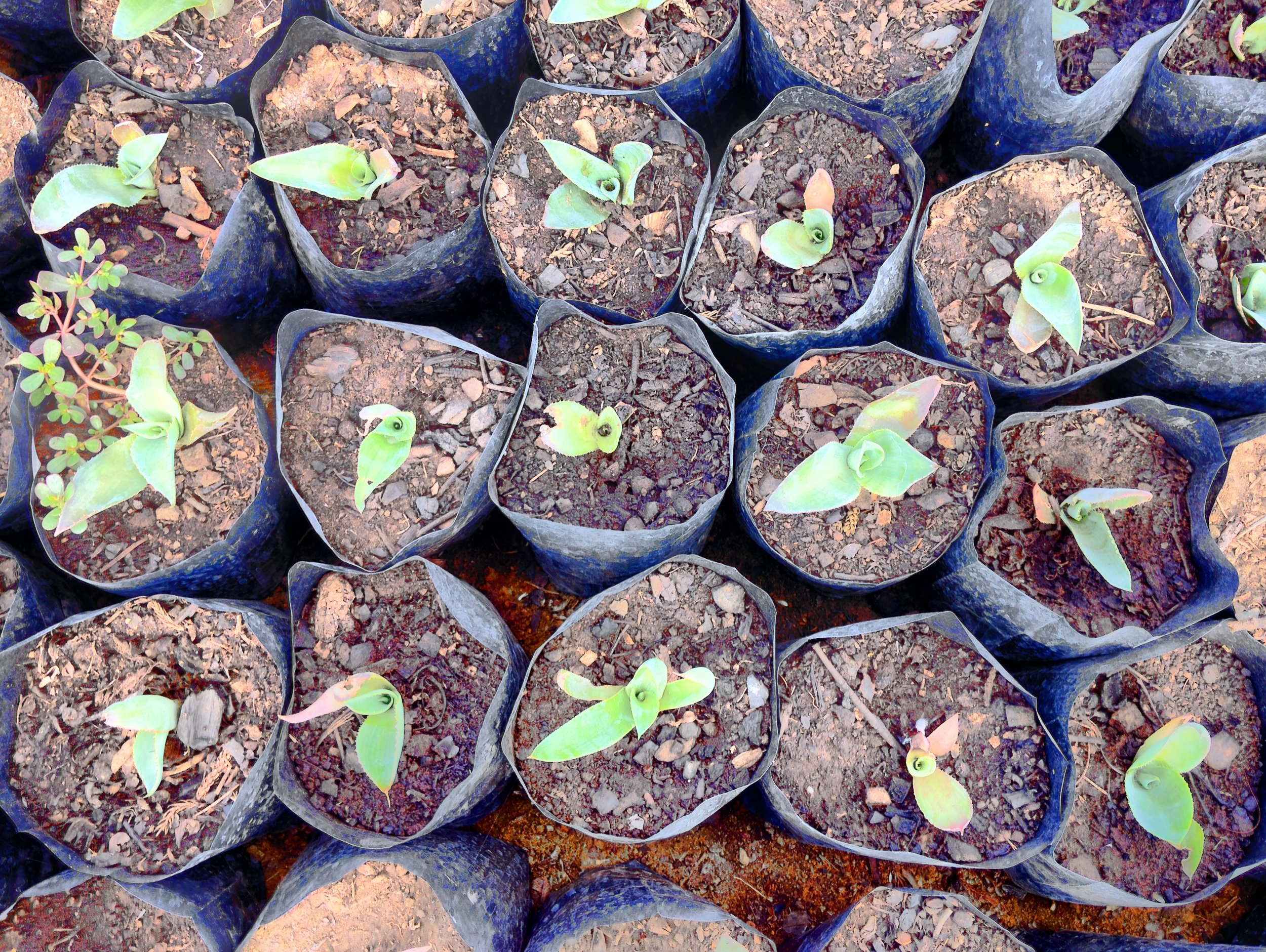 Agave babies grown from seed by the students of Telesecundaria El Manantial in Zaachila, Oaxaca