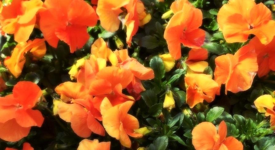 orange%2Bpansies.jpg