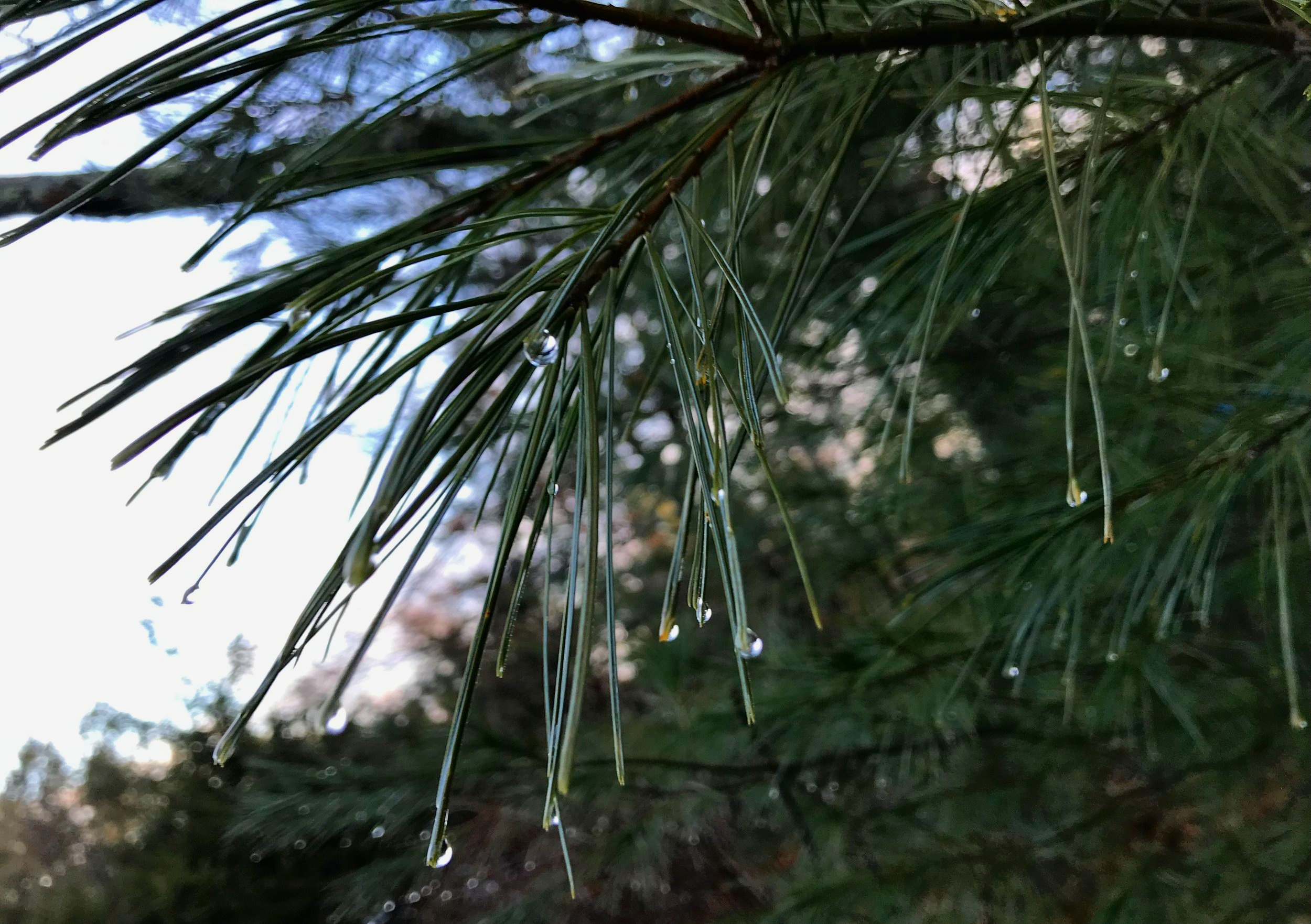 rain+on+pine1.jpg