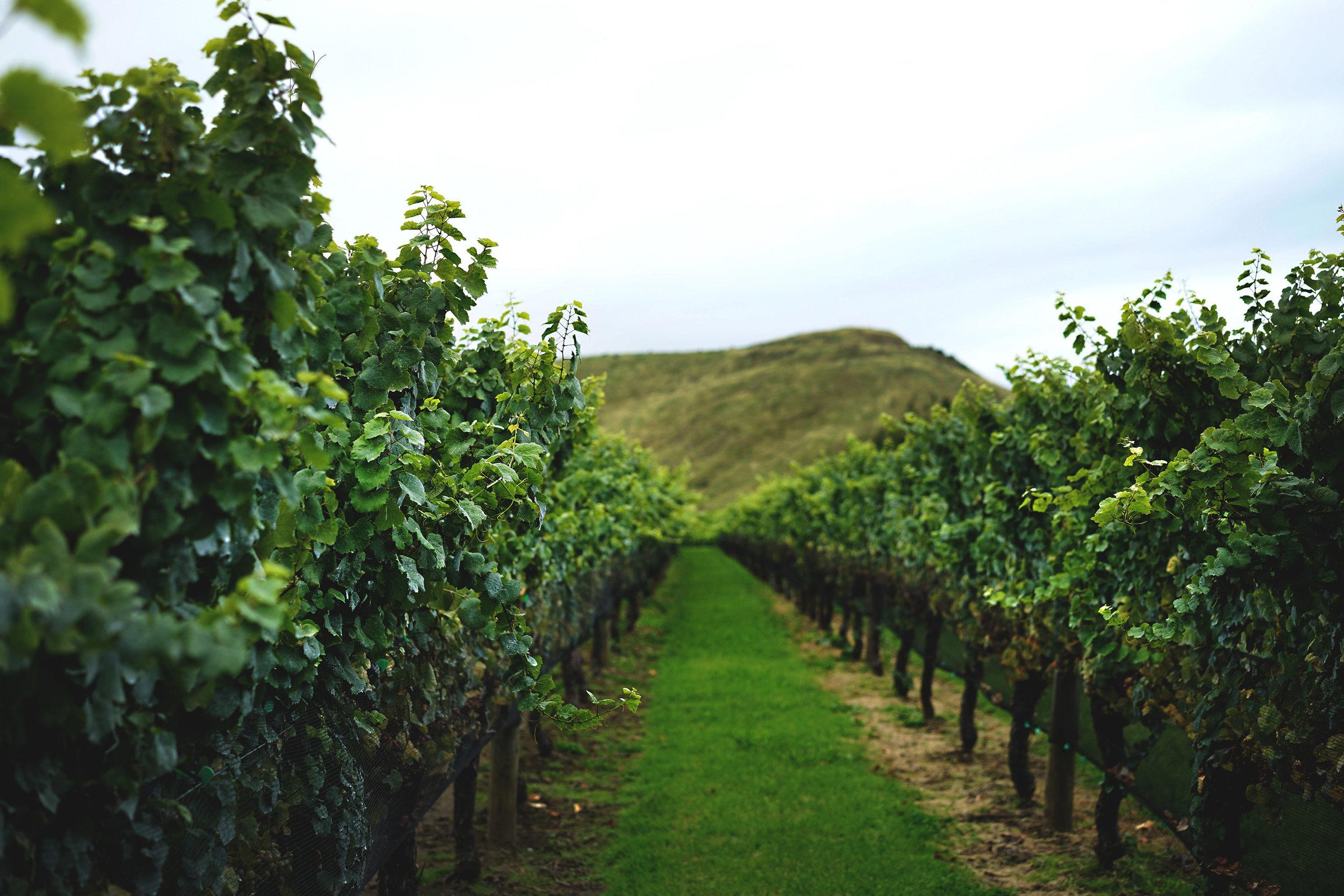 Vines 003.jpg