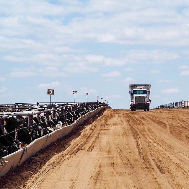 Feeding those heifers. All day everyday! #dairylife #feedyard #holstein