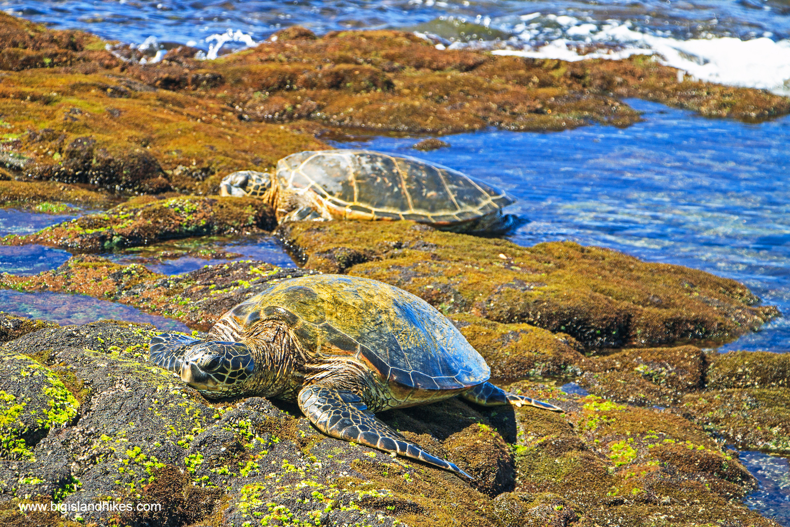 Honu - Green Sea Turtles