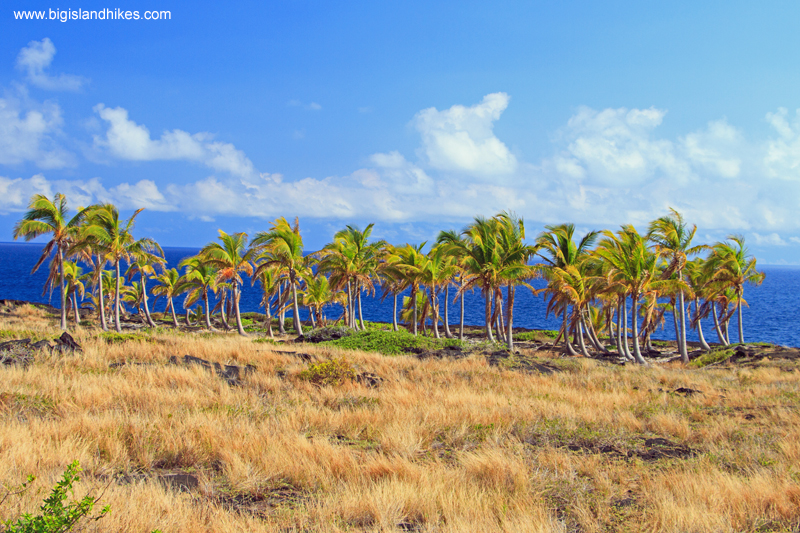 A lone stand of palms amid the lava destruction
