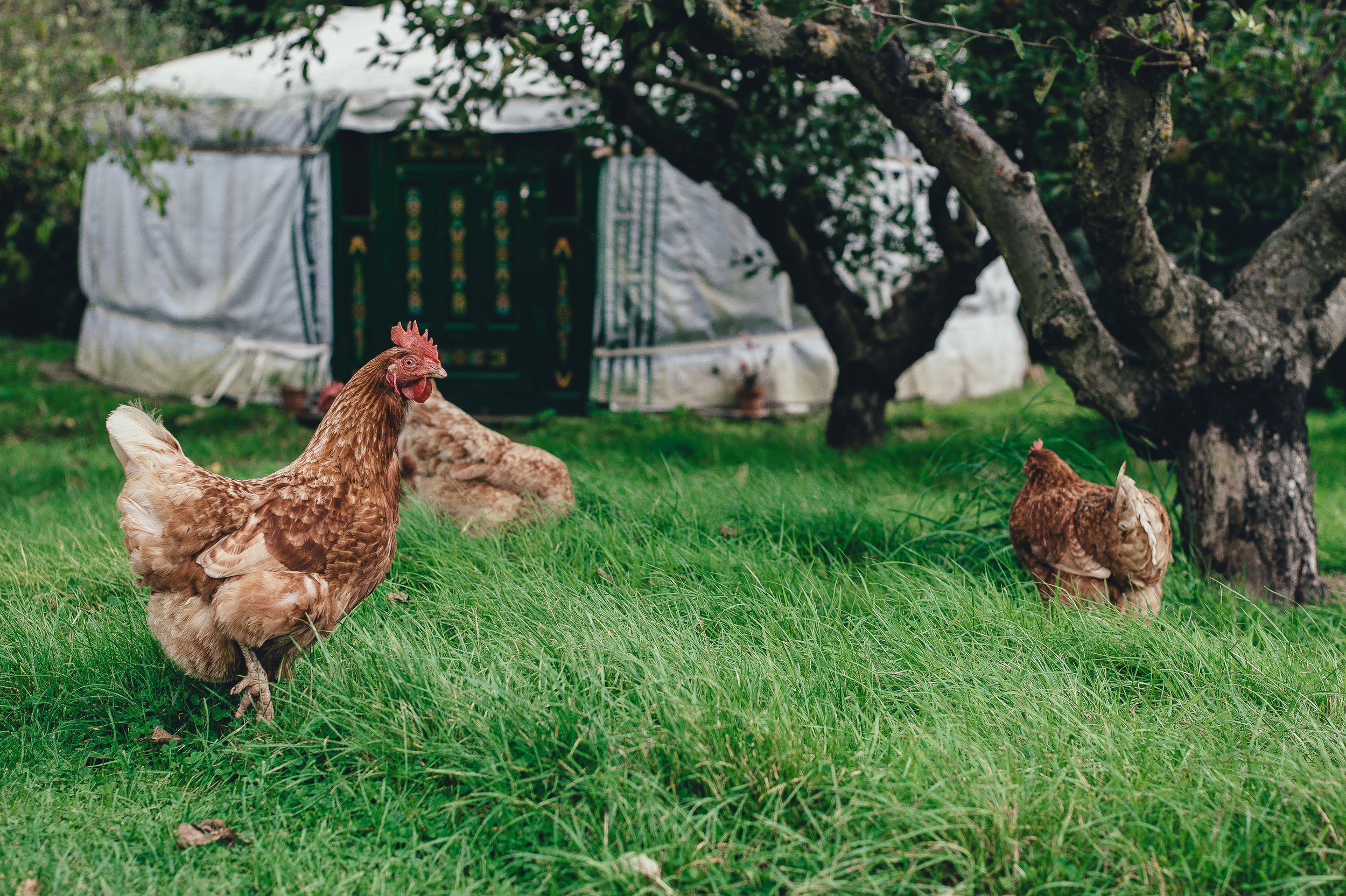 Local Pastured Poultry and Eggs -