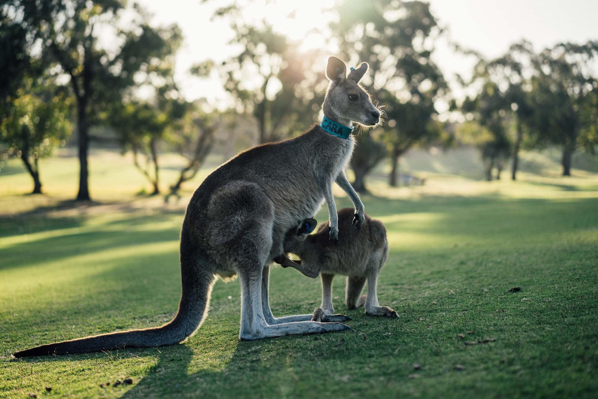 Kangaroo Australia.JPG