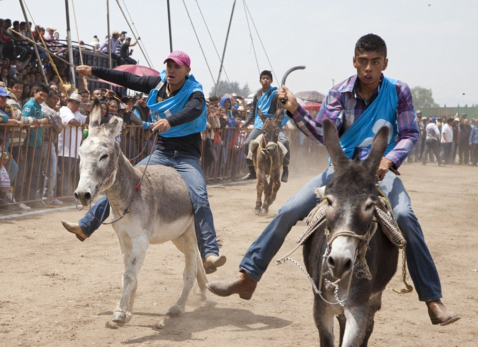 33C92F7600000578-3571066-Cruelty_Donkeys_are_beaten_force_fed_beer_and_ridden_by_fully_gr-a-1_1462291033066.jpg