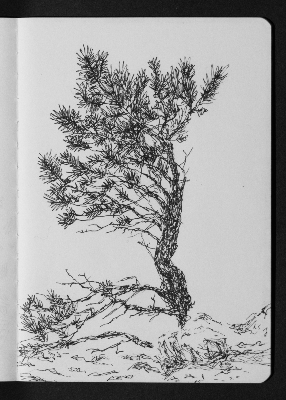 03-10 Pine Tree above Witter Gulch.jpg