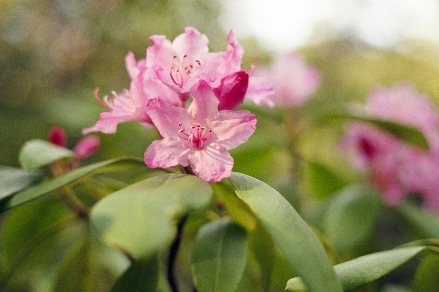 01-31 Rhododendron near Riley Horse campground.jpg