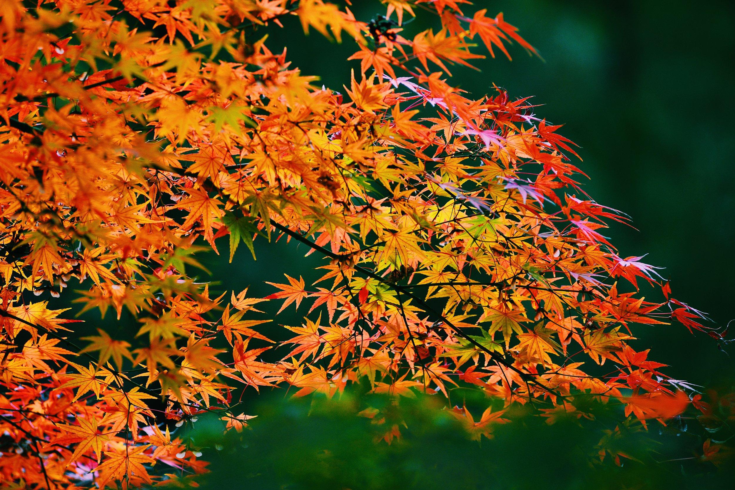 Acer Palmatum Japanese Maple Green Sky Landscapes