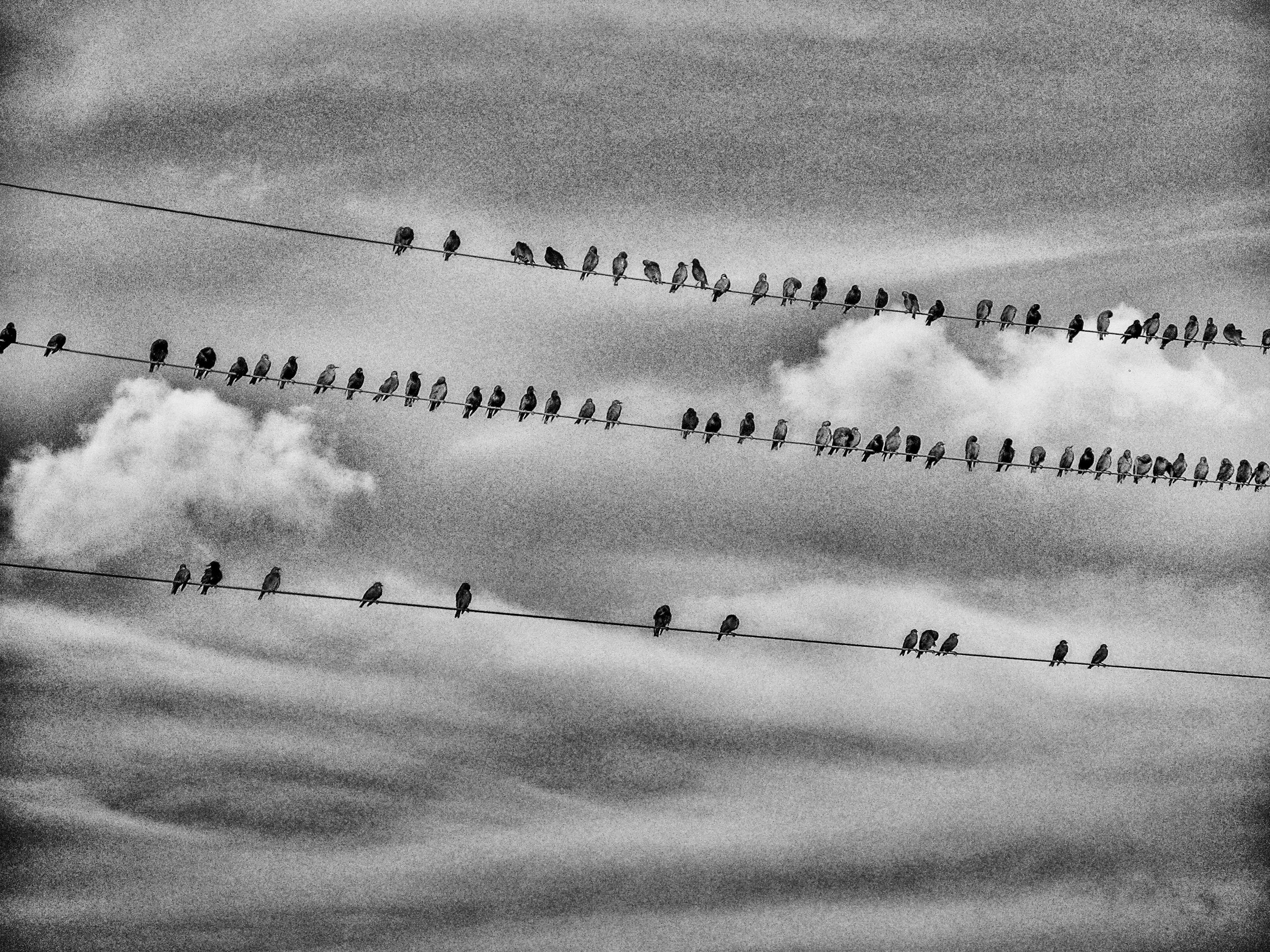 Starlings perched on power lines. Latvia