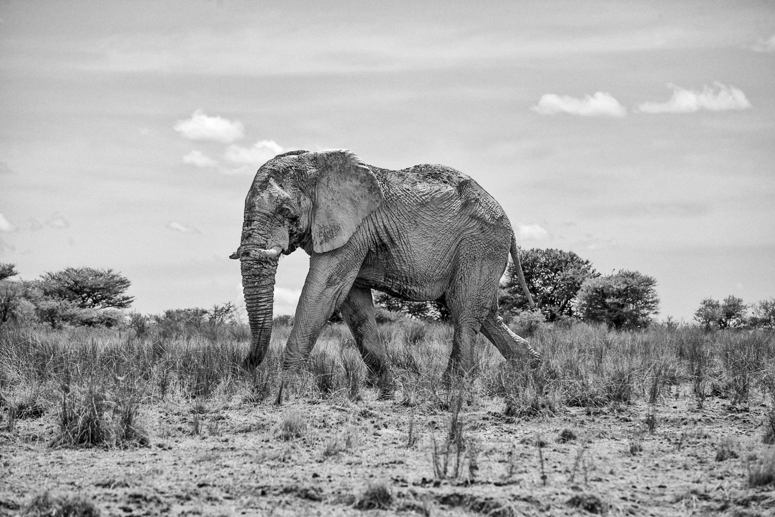_MG_6324-ethosa-elephant-bw.jpg