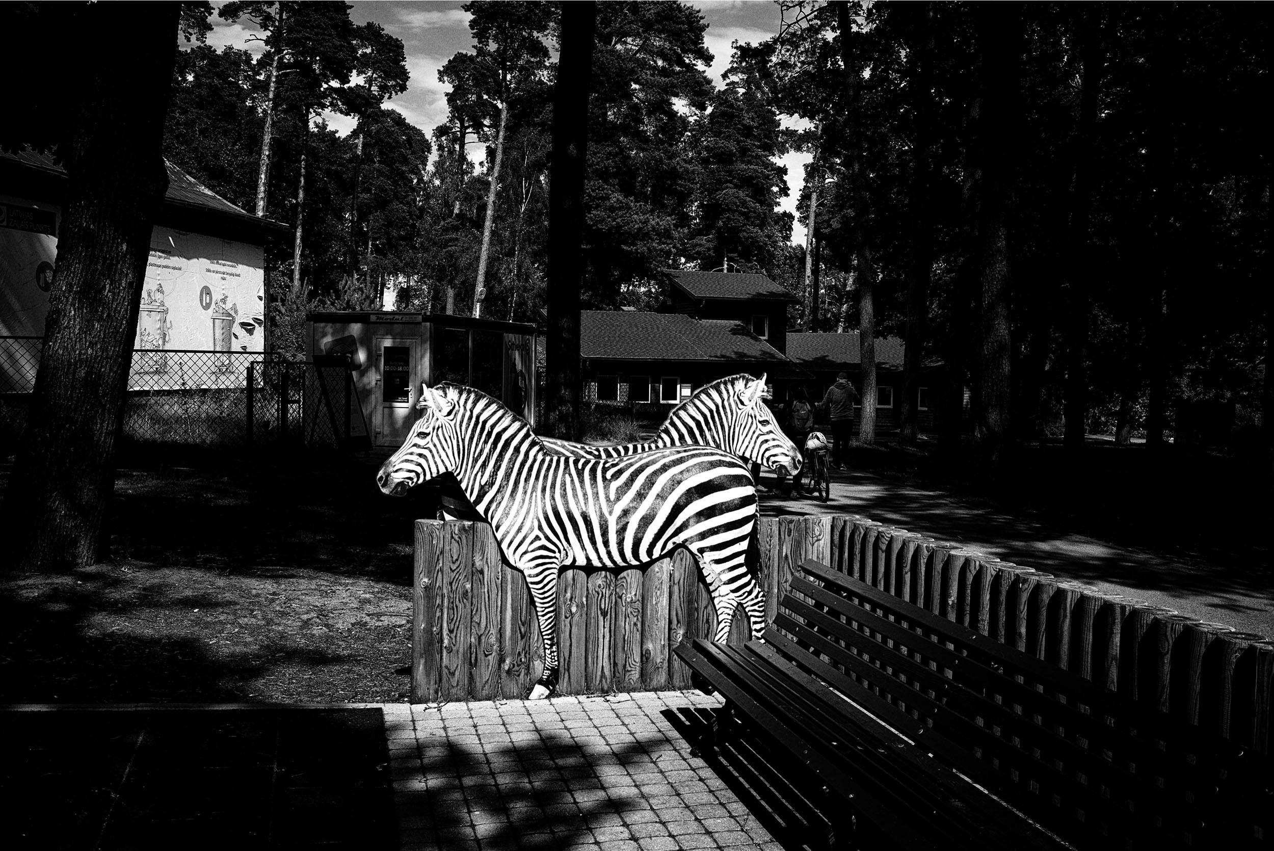 ALD03JUL19-5677-zoo-zebras2500pix.jpg