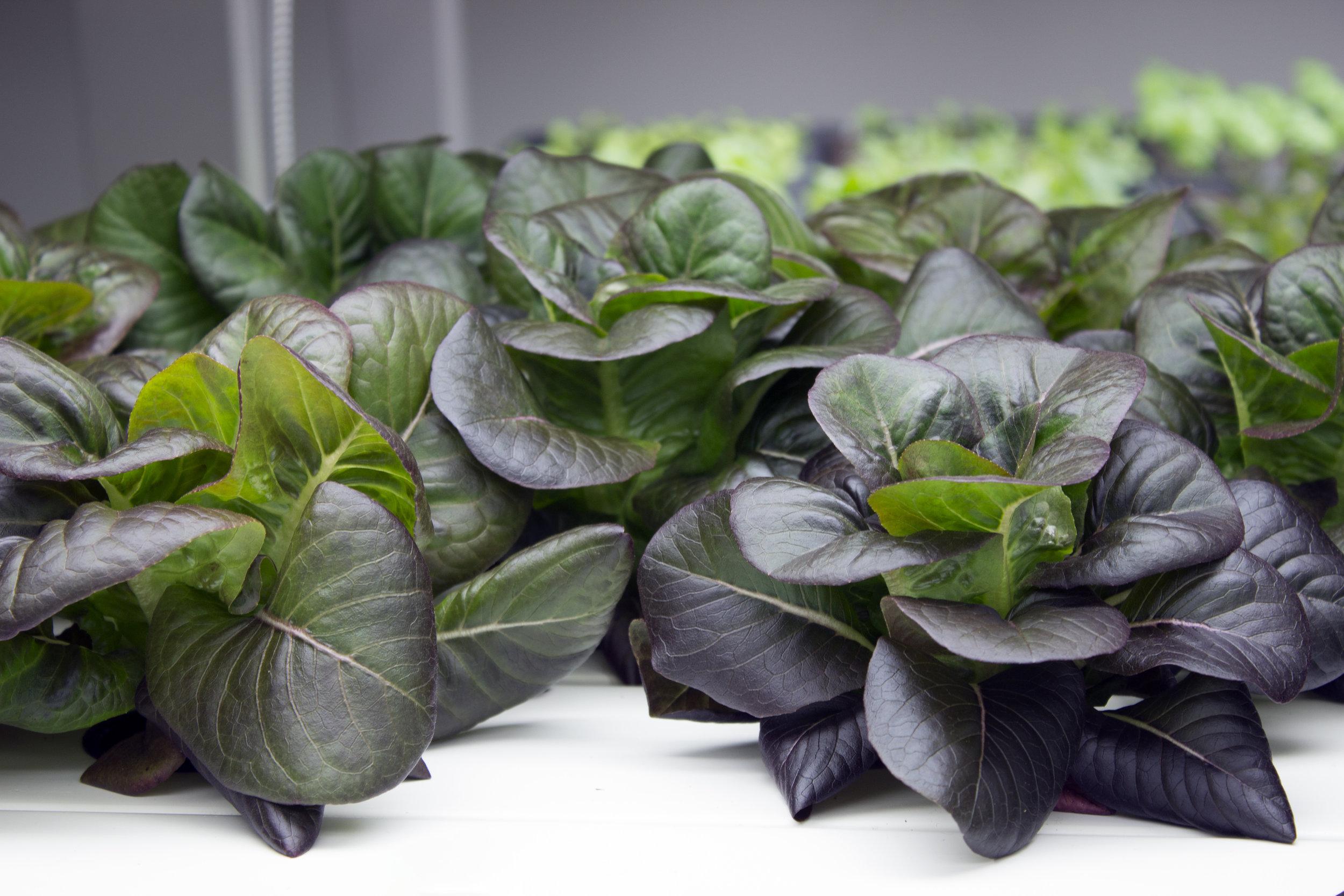 Red Lettuce 2.jpg