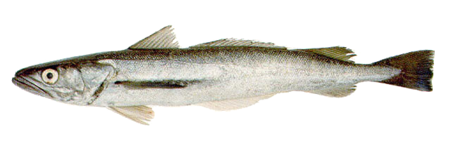 Argentine_hake.png