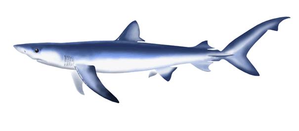 drawn-shark-blue-2.png