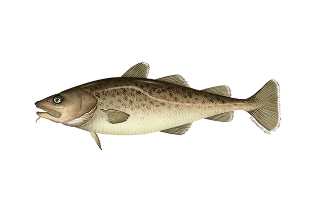 pacific cod.png