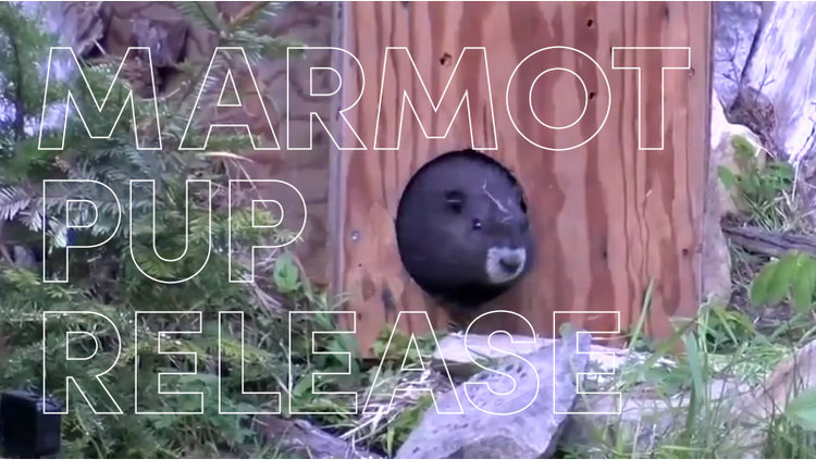 MOSAIC IS A PROUD SUPPORTER OF MARMOT RECOVERY ON VANCOUVER ISLAND.   You can watch a video of the release via Chek News here .