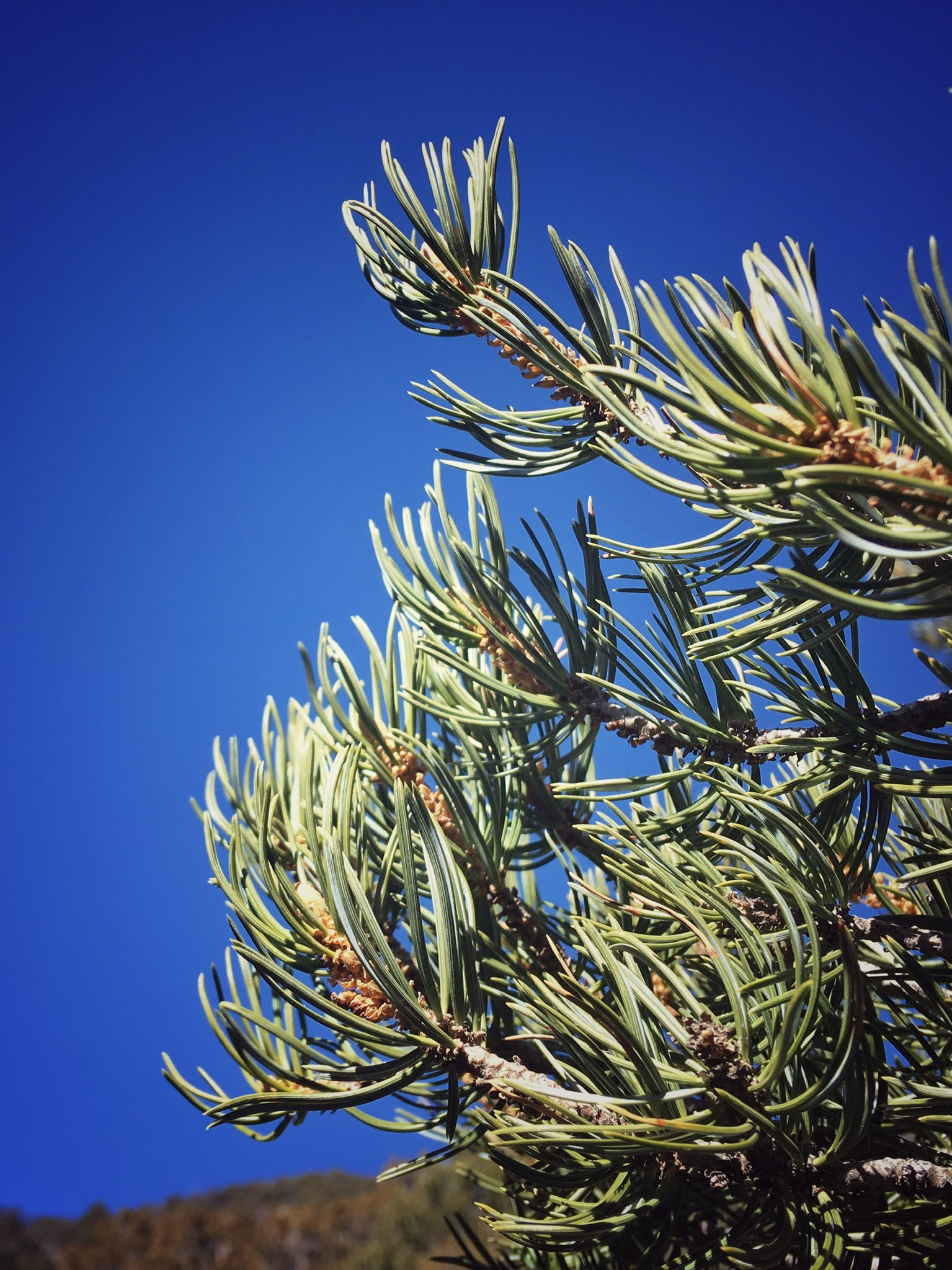 The piñon pine is a sacred high desert tree. -