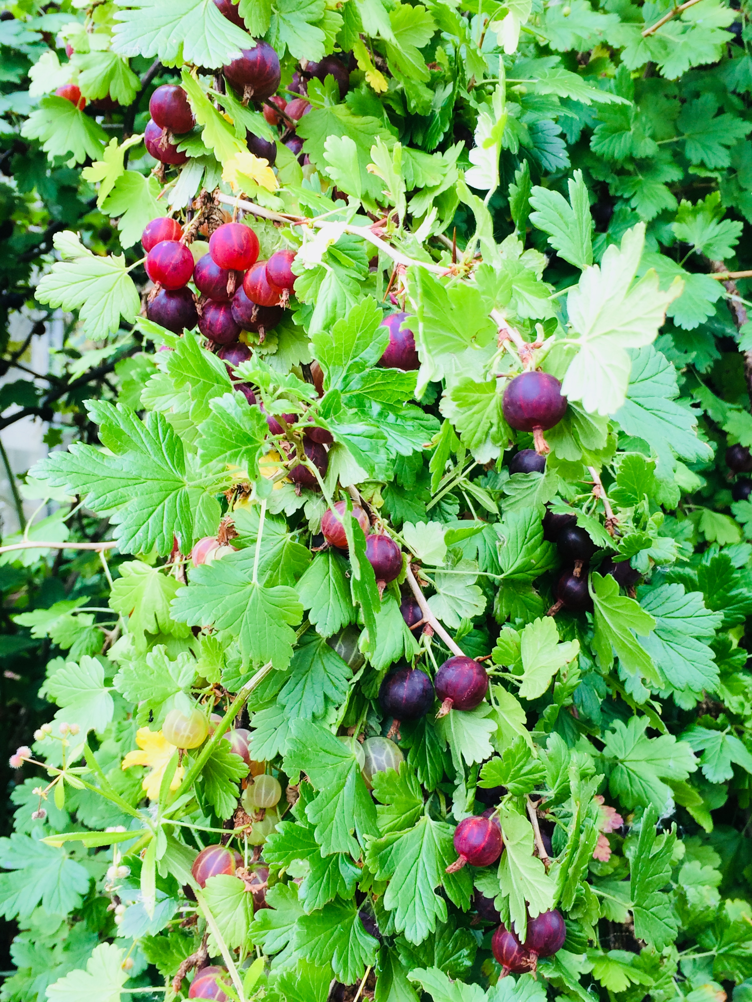 Fruit in garden.jpg