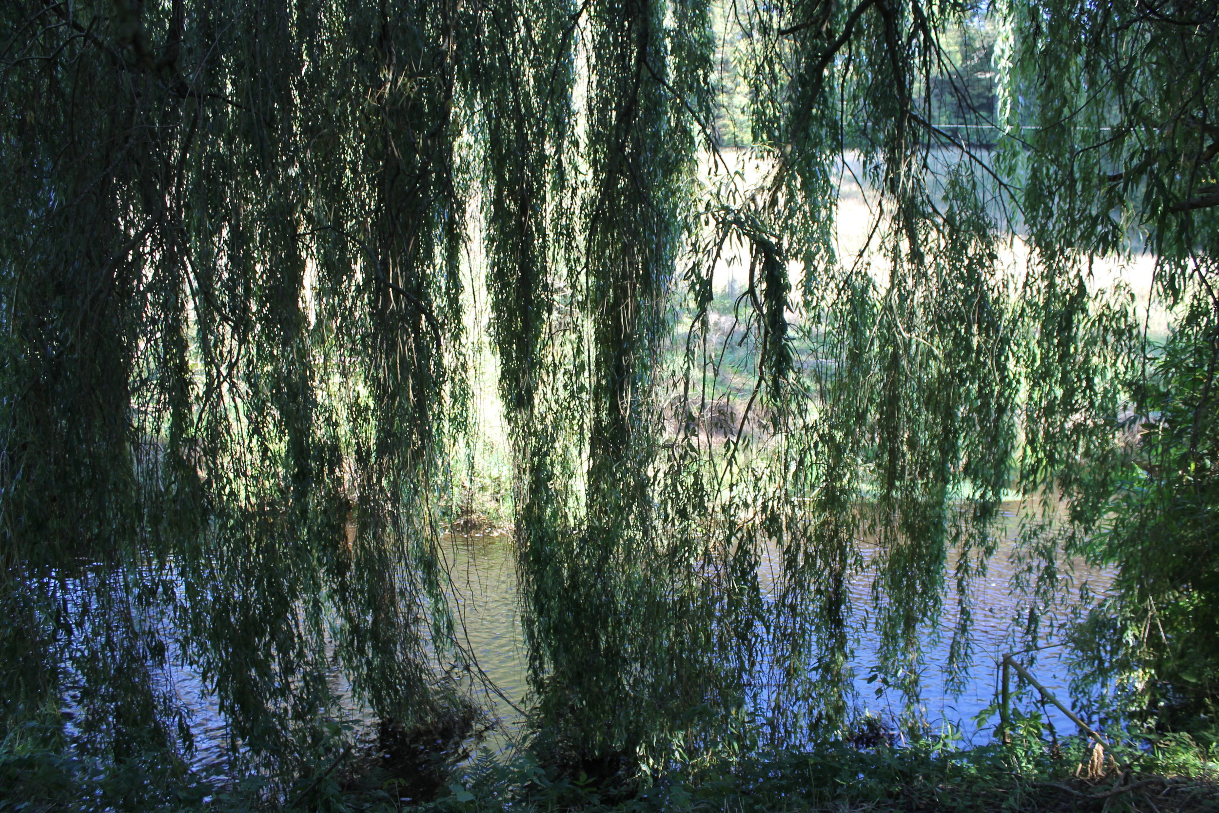 The willow tree by our river