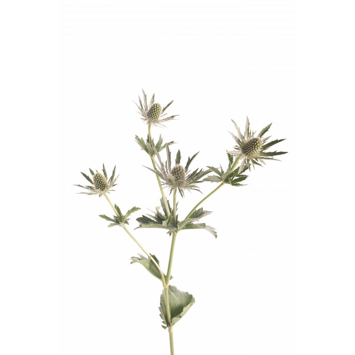 green-eryngium-thistle-sirius-questar-2.jpg