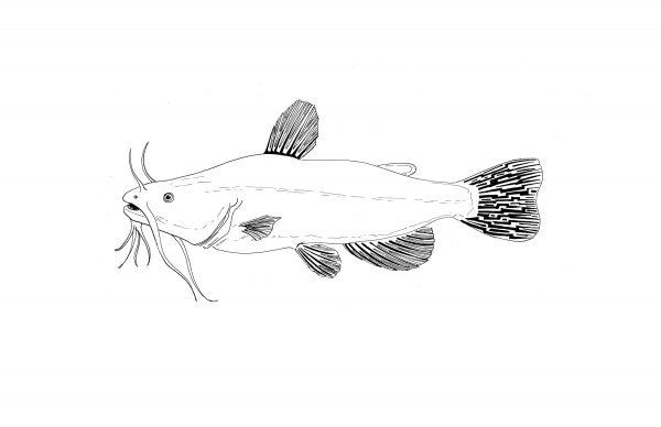 Catfish_print2-600x388.jpg
