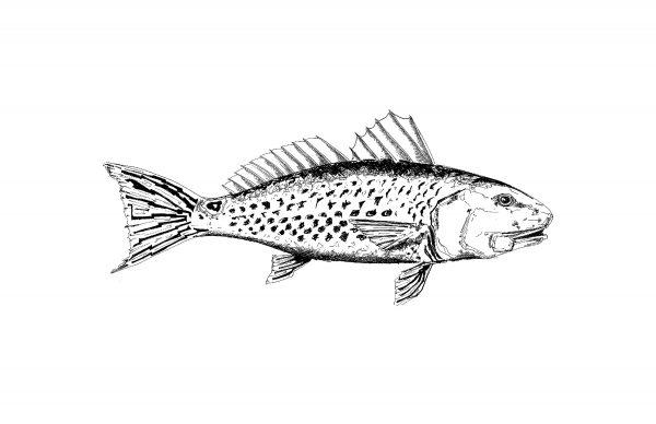Redfish_print2-600x388 (1).jpg
