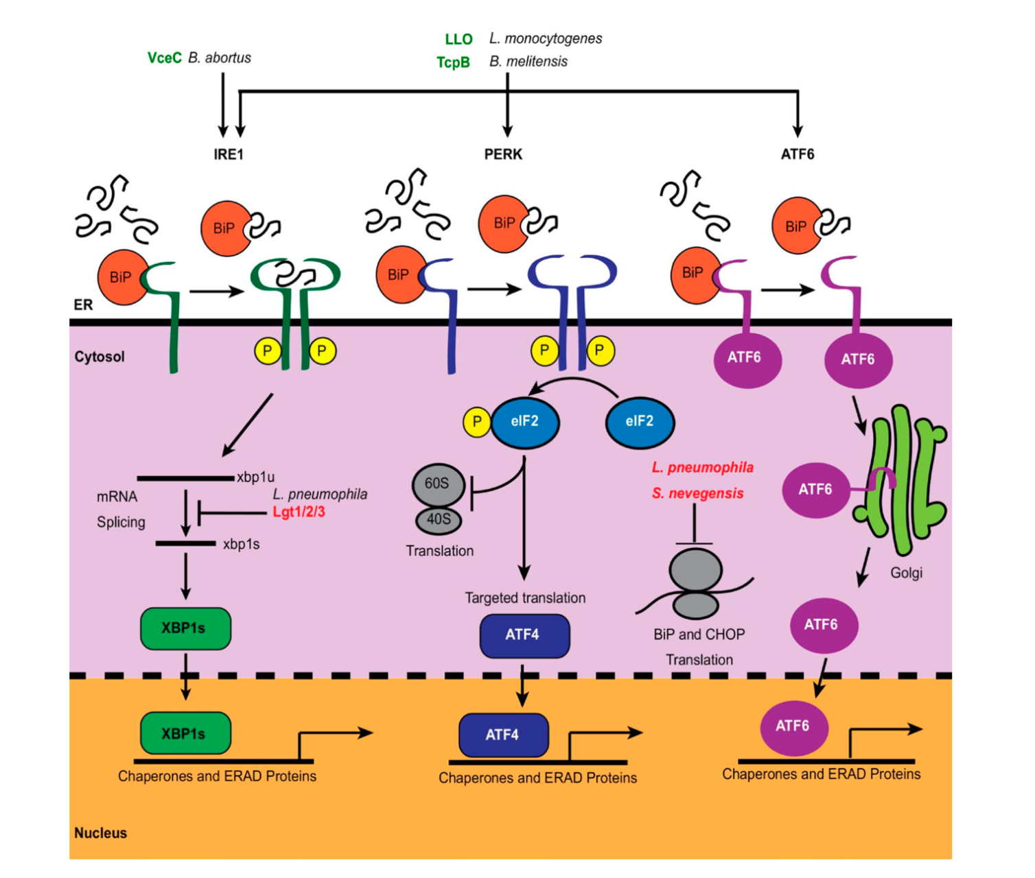 The UPR is mediated by three major sensors on the surface of the ER: IRE1, PERK, and ATF6. In the presence of unfolded proteins, the ER resident chaperone, BiP, dissociates from these UPR sensors, which contributes to their activation and downstream cellular responses, which include expression of protein chaperones and ERAD. Bacterial pathogens both activate (green) and inhibit (red) all three branches of the UPR. Source: Cornejo E, Schlaermann P, Mukherjee, S.  How to rewire the host cell: A home improvement guide for intracellular bacteria.   J Cell Biol .  2017  Nov 2. doi:10.1083/jcb.201701095.