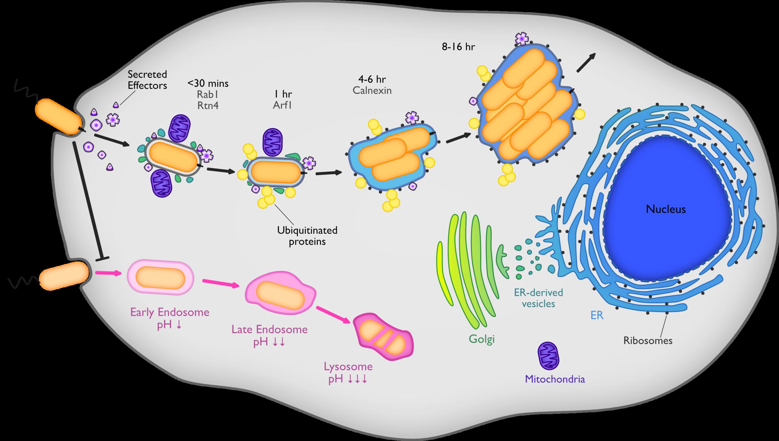 Legionella Life Cycle.png
