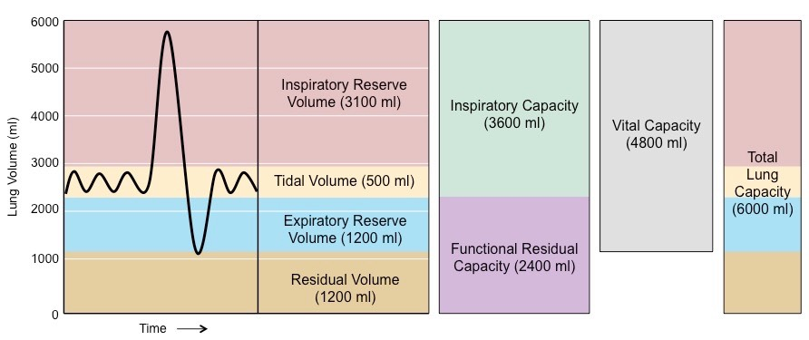 http://ib.bioninja.com.au/standard-level/topic-6-human-physiology/64-gas-exchange/lung-capacity.html