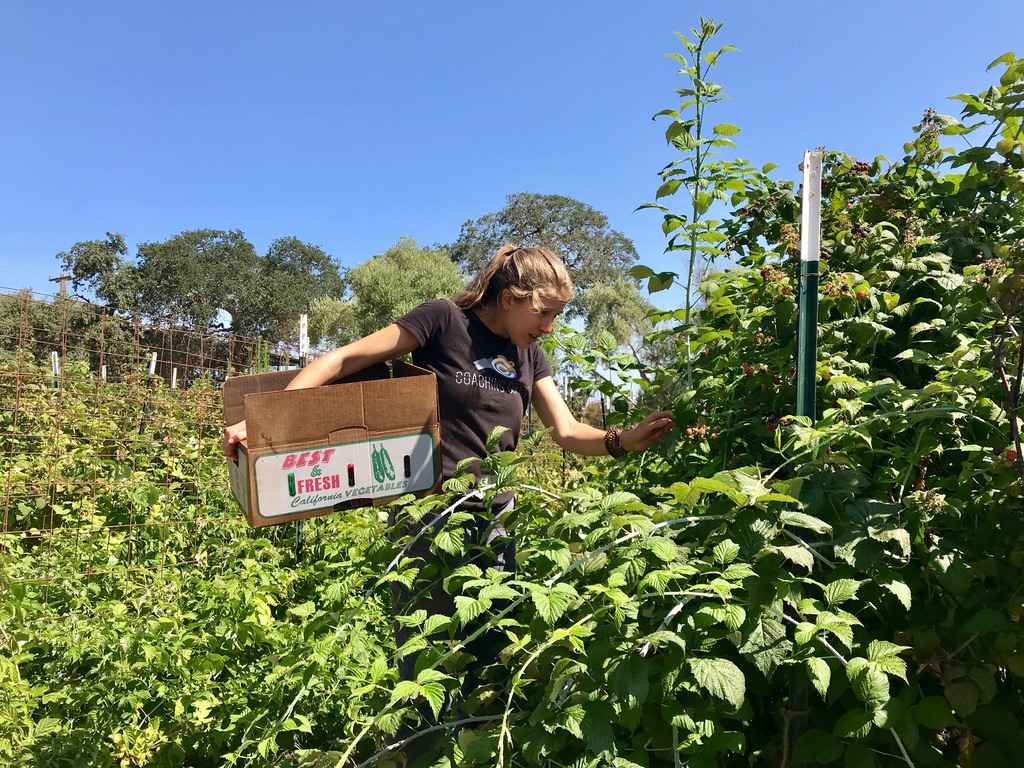 Arabelle Schoenberg '19 harvests blackberries on the O'Donohue Family Stanford Educational Farm.