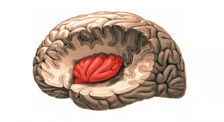 The insula   Photo credit:  Exploring Your Mind