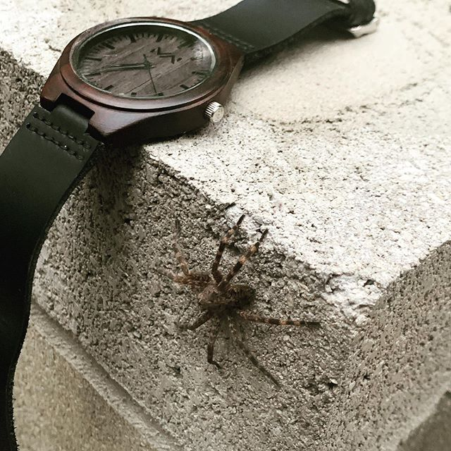 Does this giant #tarantula make my watch look big? #midwest #spidersofinstagram #notatarantula #neature