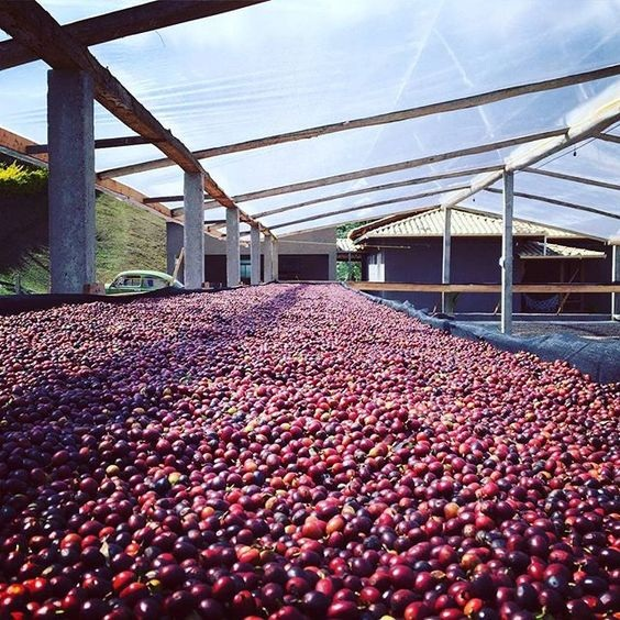 Coffee Cherries drying on a bed.