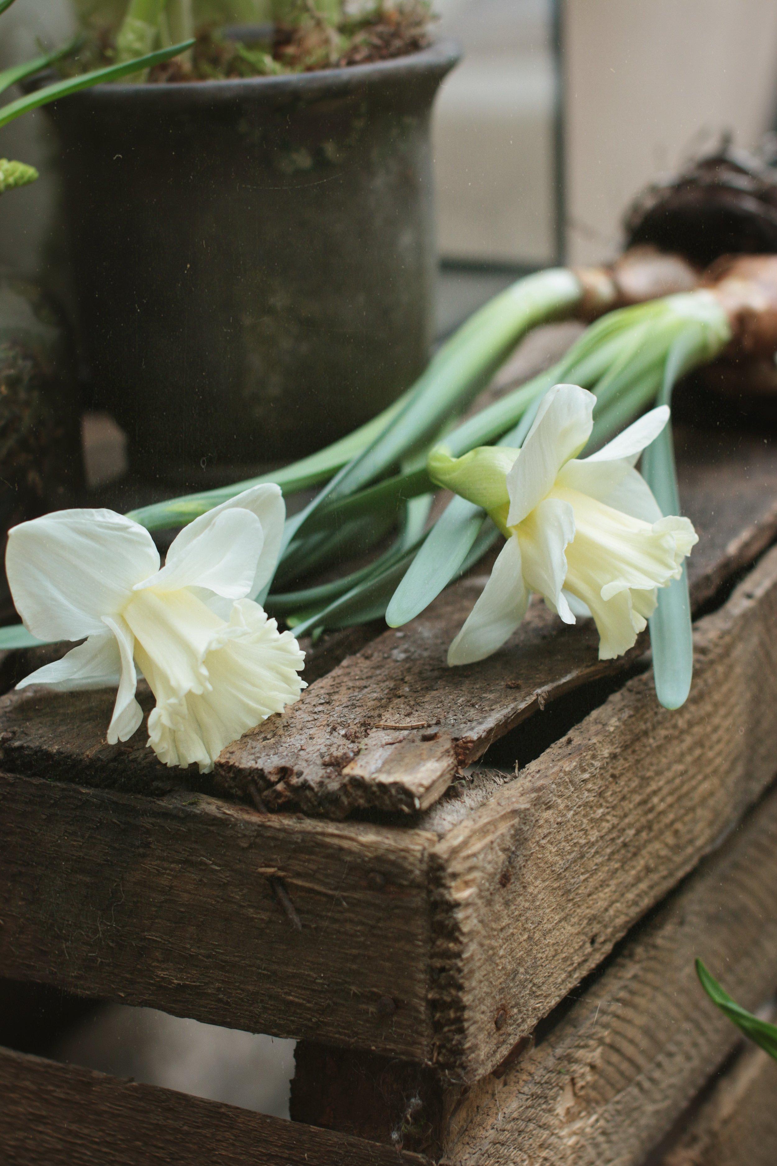 Valkoisena kukkiva narsissi 'Geneve'