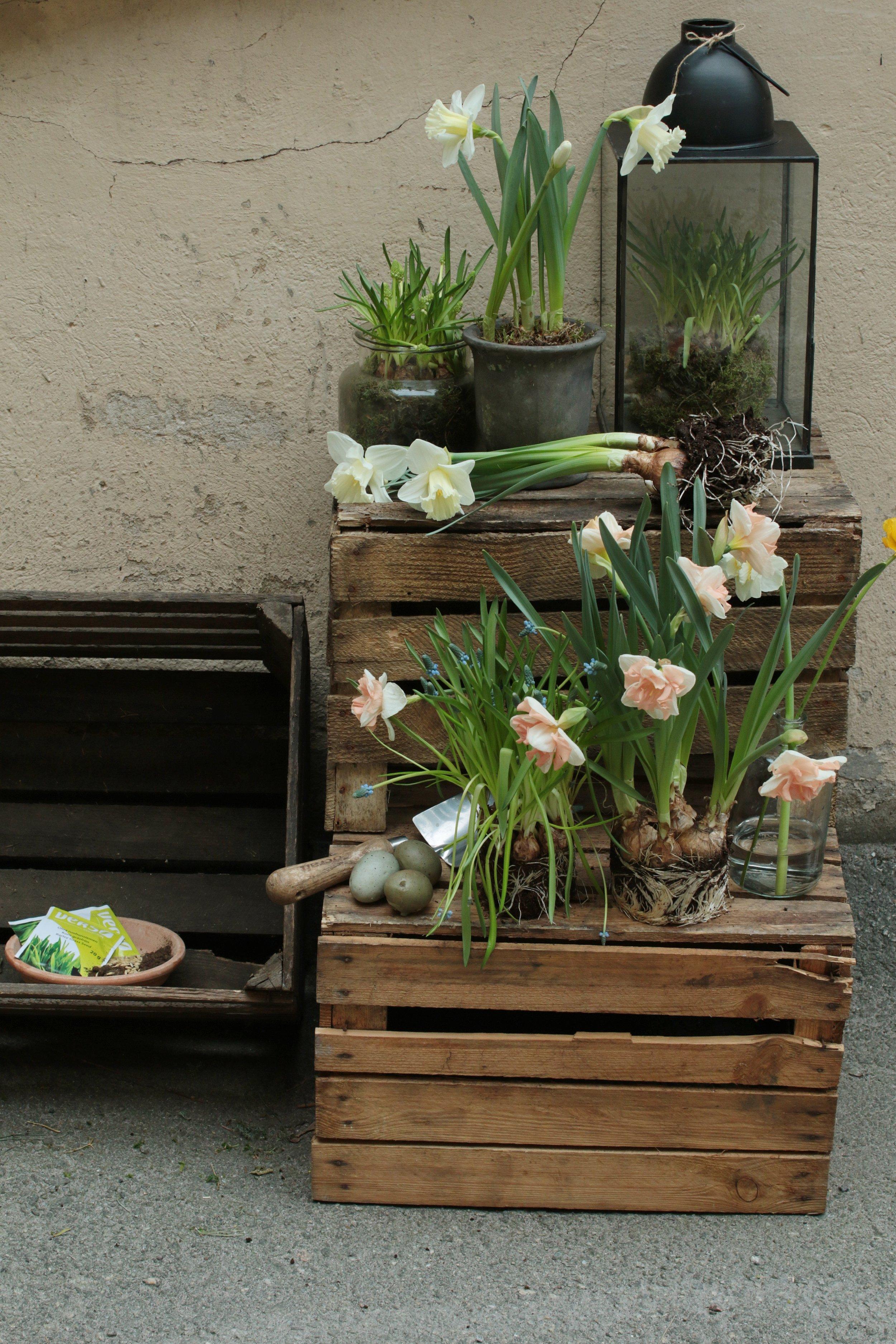 Keväiset sipulikukat ruukussa