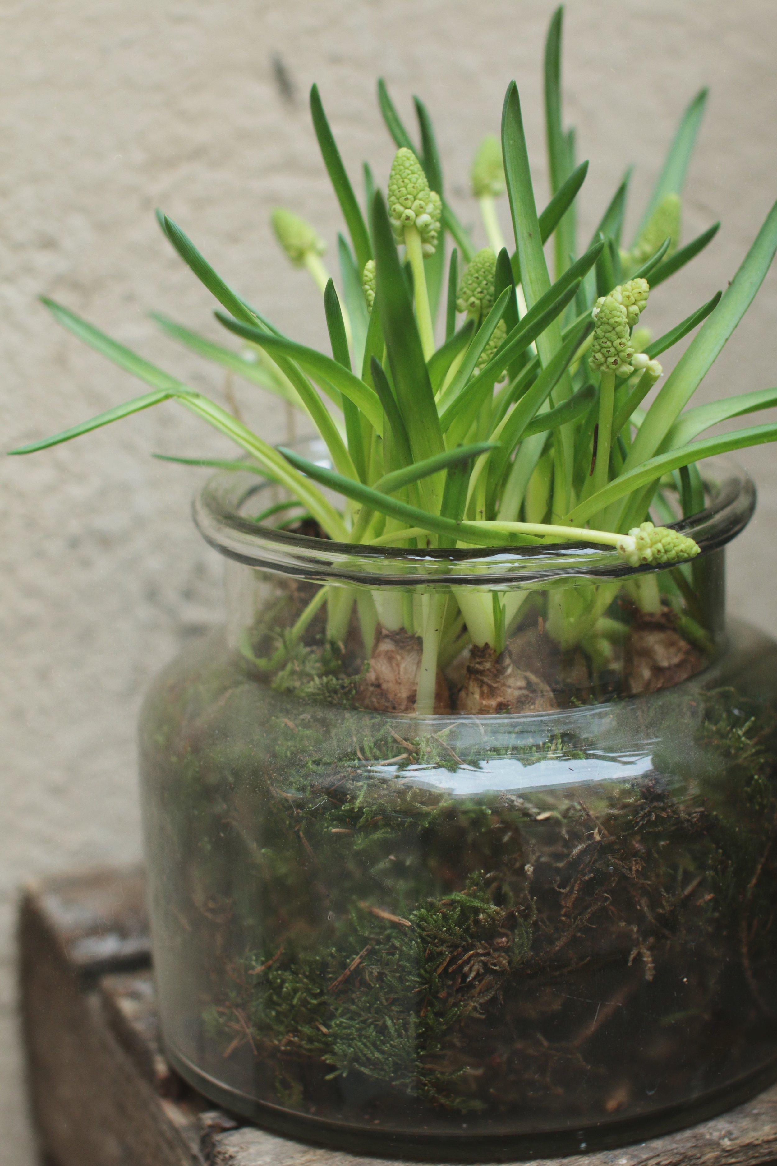 Sipulikukat ovat klassisimmillaan lasiastiaan istutettuna, jolloin niiden ihanat sipulit pilkottavat sammaleen seasta. Lasiin istutettuna täytyy muistaa ettei niitä kastele liikaa, koska sammal ja lasi yhdessä pitävät kosteuden pidempään.