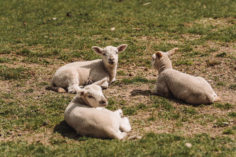 Na farmě - Na farmě se kromě koní potkáte také s našimi kozami, ovcemi a krávami. Z jejich mléka vyrábíme každý den čerstvou várku domácích sýrů a jiných dobrot, které tu můžete ochutnat a nakoupit. Našim návštěvníkům je k dispozici dětské hřiště, volejbalové hřiště a tenisové kurty.