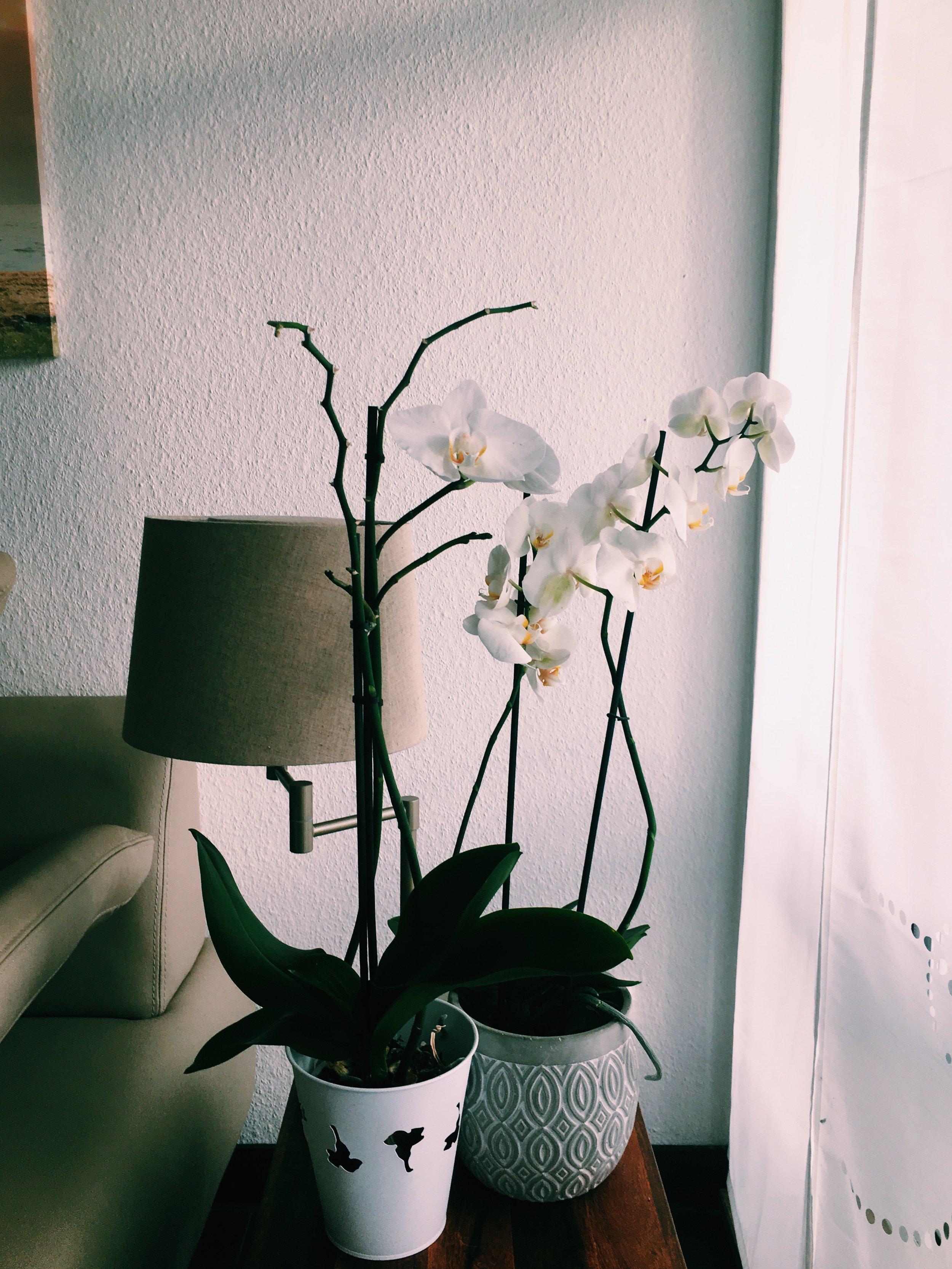 2.Orchid - コチョウラン