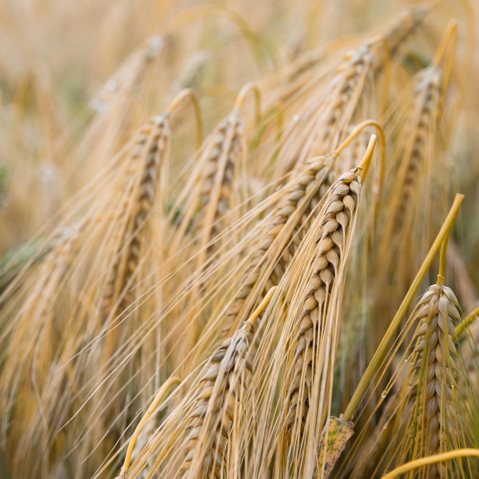 小麦粉と全粒粉 - 小麦製品には炭水化物が速くを含んでおり、急速に血糖値が上がる。しかし、しばらくすると、急激に血糖値が下がり、ストレスホルモンのコルチゾールが分泌される。その後再び、血糖値を上げ、気分が悪くなることがある。一方で、全粒粉は小麦粉よりも炭水化物がゆっくり消化されるので、血糖値も急激に上がらず、バランスが保たれた状態となる。すると気分もよくなり、また食欲も抑えることができる。
