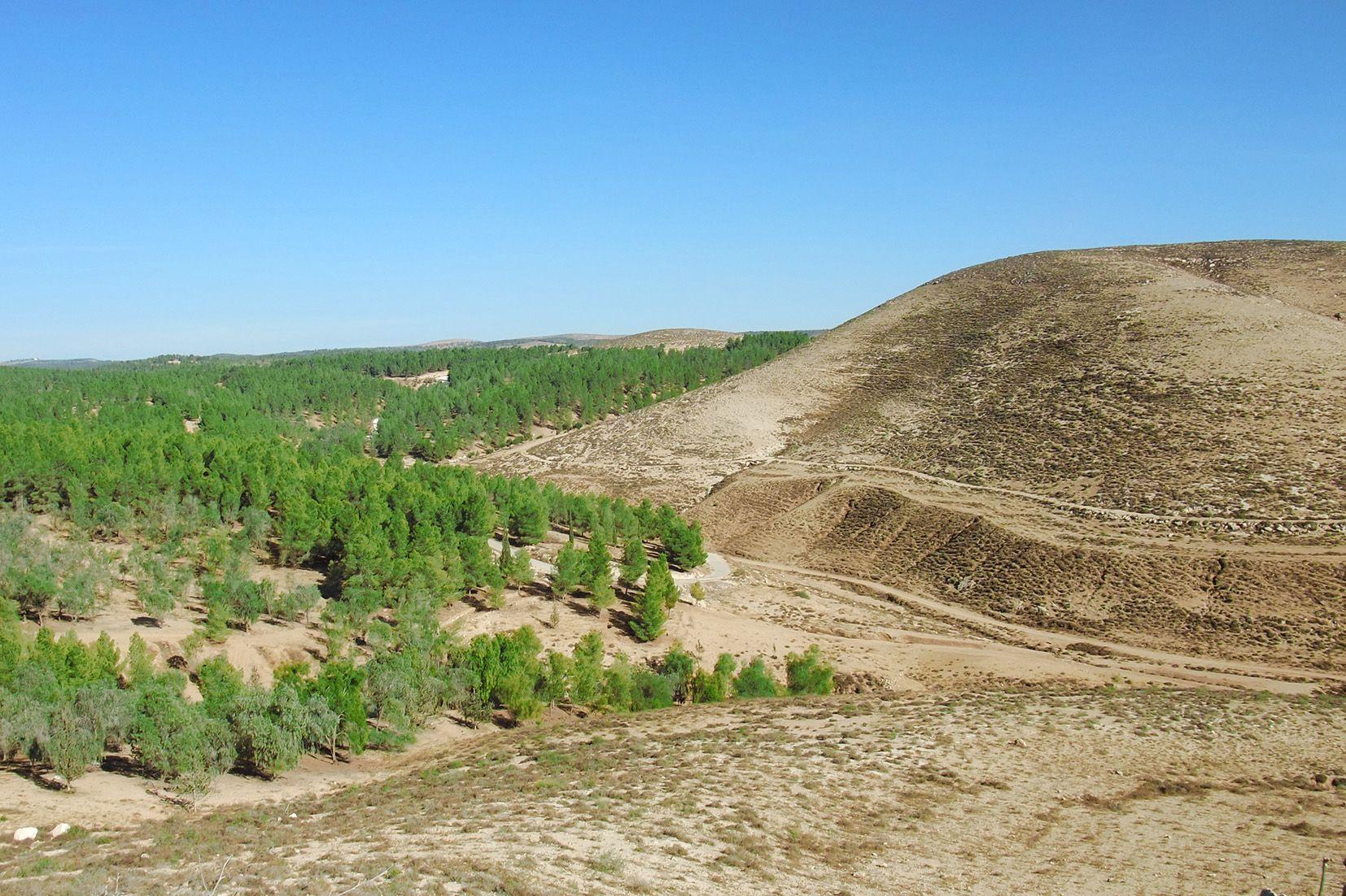 Mit unermüdlichem Einsatz: Wälder wachsen in der Wüste. Foto: JNF-KKL Archiv