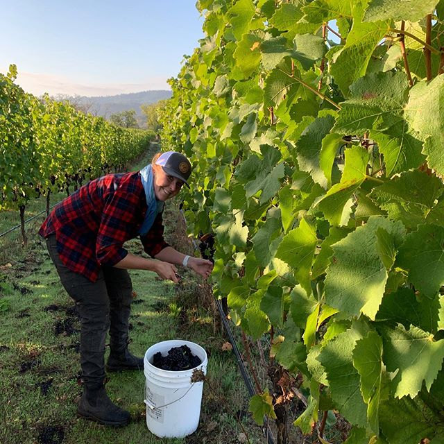 Had the pleasure of picking this morning with our dairy friends, Sarah and Bubba King of  @godspeedhollow for their block of biodynamic Pinot noir.  #morethanamilkmaid #wvharvest2019 #biodynamic #oregonpinotnoir