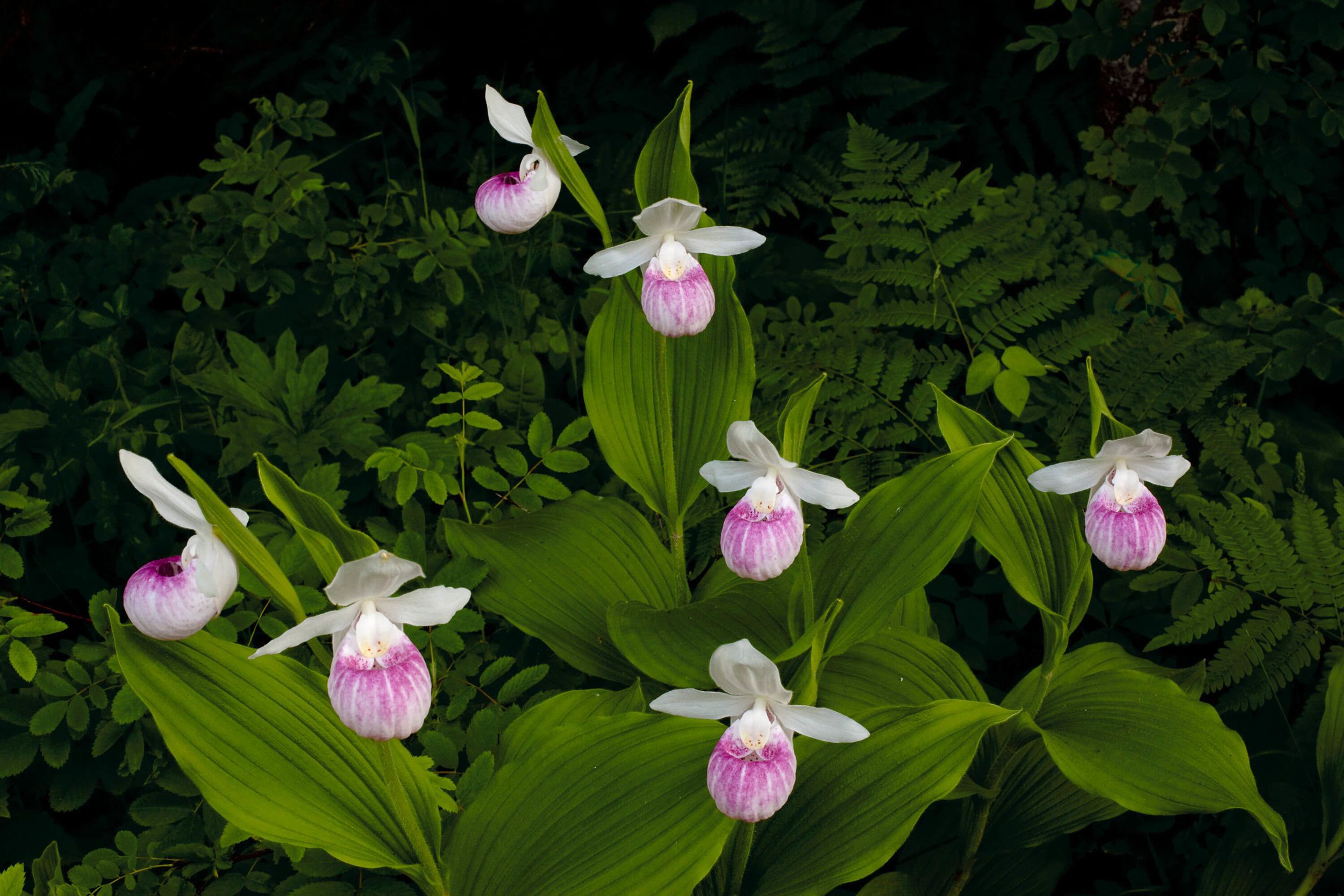 Lady slippers, denizens of the northern wetlands. Photo by Benjamin Olson