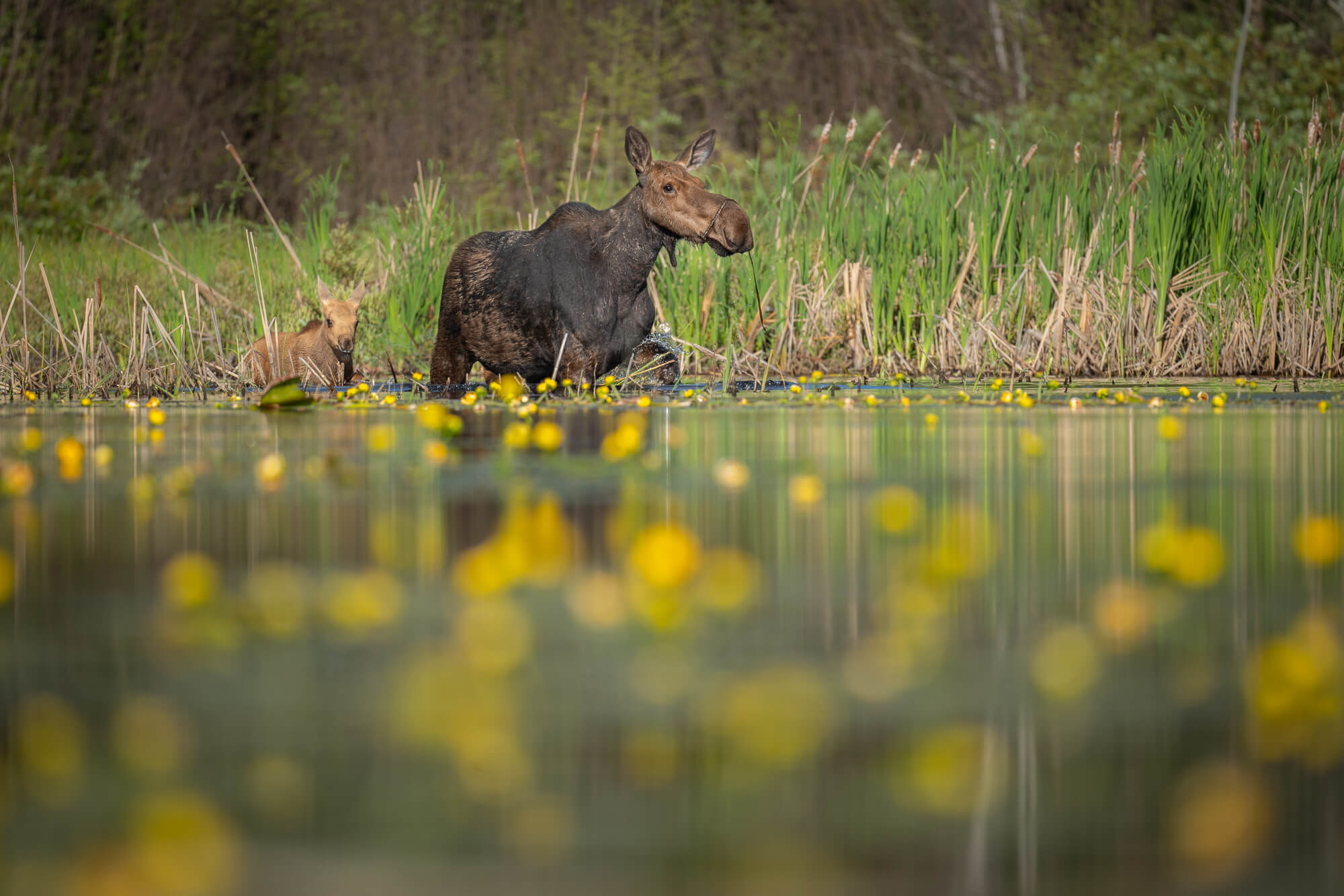 Moose are just one of the iconic species threatened by copper mining. Photo Benjamin Olson