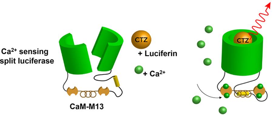 calcium_biolum_sensor_jpg.jpg