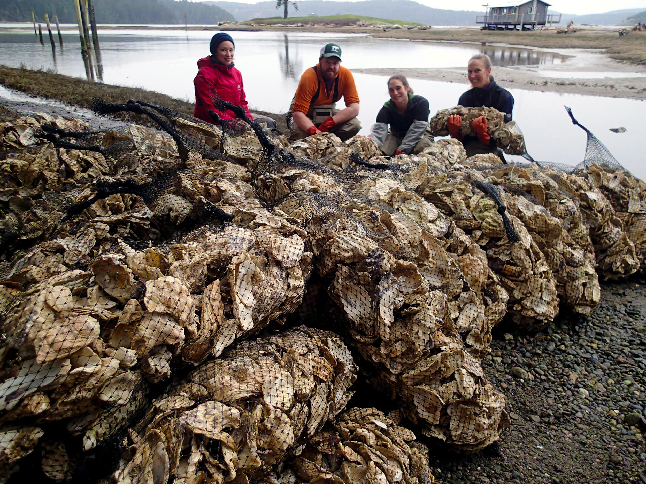 "Swinomish Fisheries staff pose next to bags of Pacific oyster shell ""seeded"" with young Olympia oysters. The Olympia oysters were left in the bags in the intertidal zone for a year in order to protect the young oysters from predators. Staff came back after a year and spread the larger oysters in targeted restoration areas. Photo: Swinomish Fisheries"