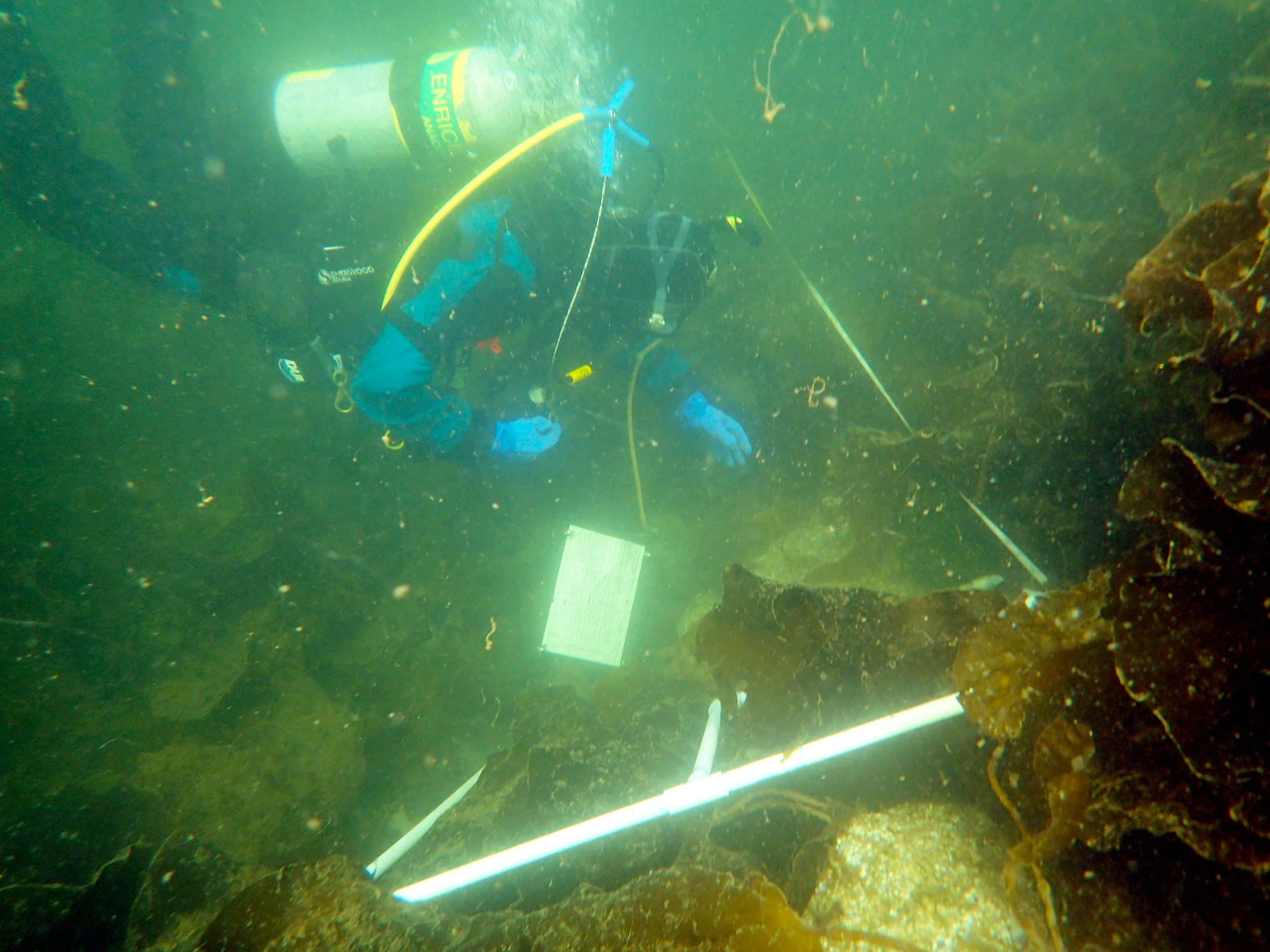 A Swinomish Fisheries biologist studies kelp beds on a clam garden wall. Photo: Yann Herrera-Fuchs